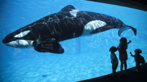 Should SeaWorld Be Allowed to Captivate Orcas?